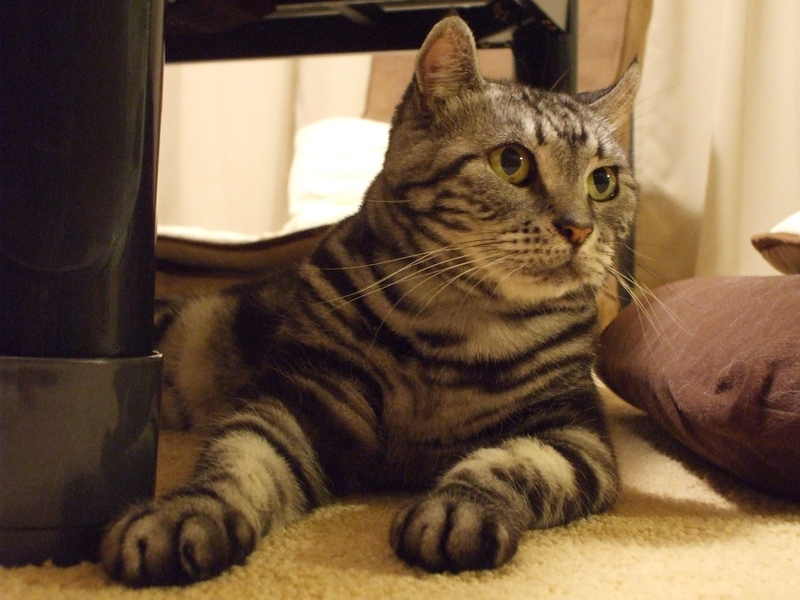 コタツの下の猫