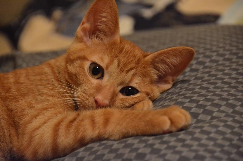 茶トラ仔猫