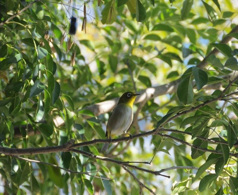 シマトネリコの木にやってきたメジロ