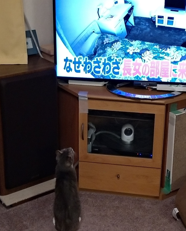 テレビを見上げる猫