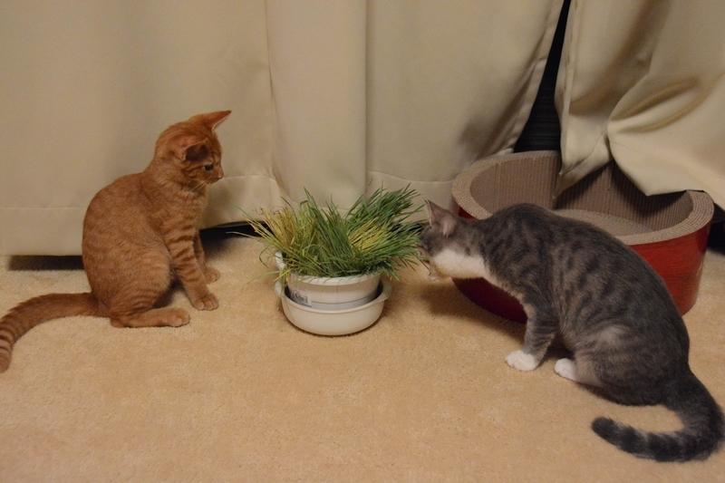 猫草に興味津々