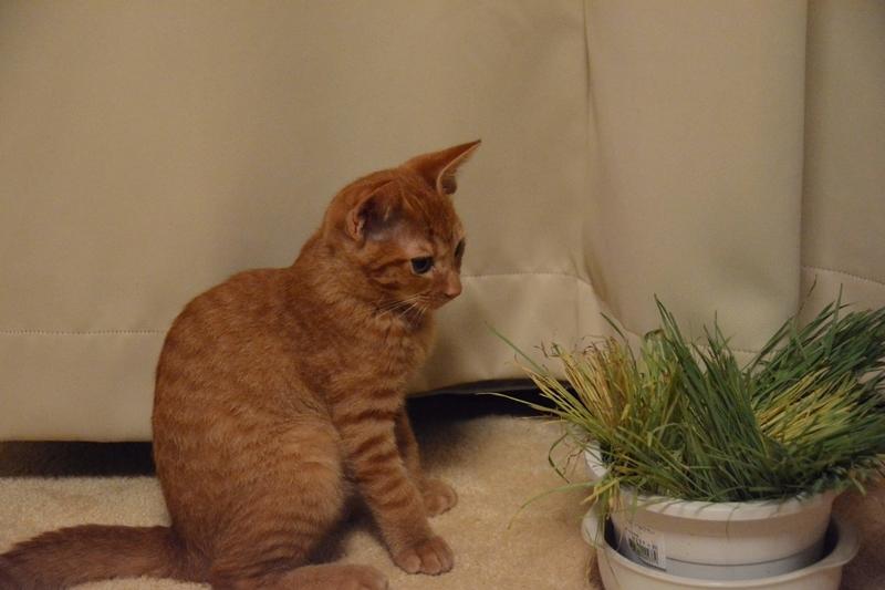 猫草を見つめる猫