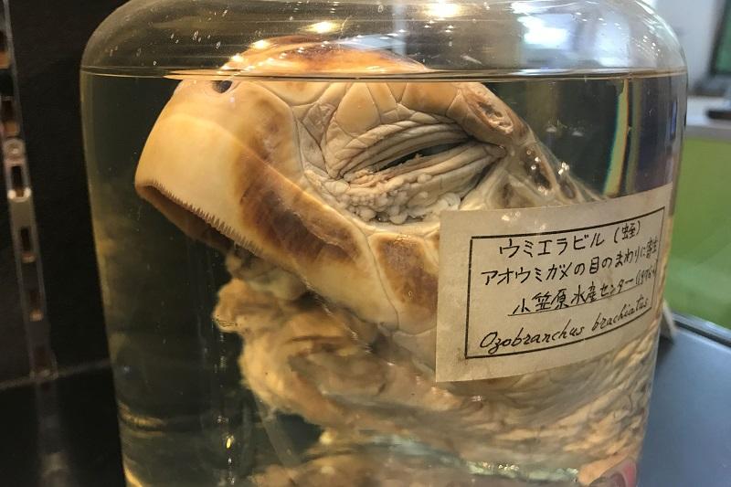 カメの瞼下に寄生したウミエラビル