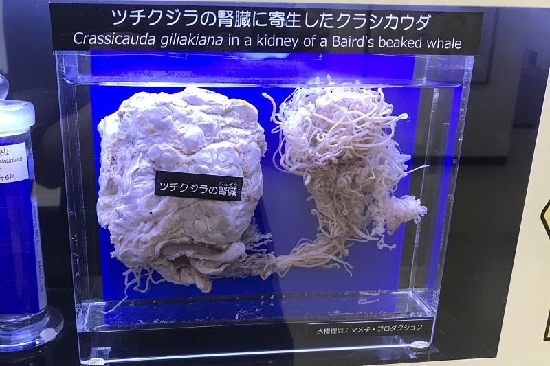 ツチクジラの腎臓に寄生したクラシカウダ