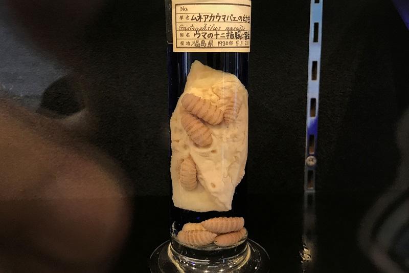 十二指腸に寄生したムネアカウマバエ