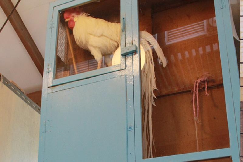 珍鳥センターのオナガドリ