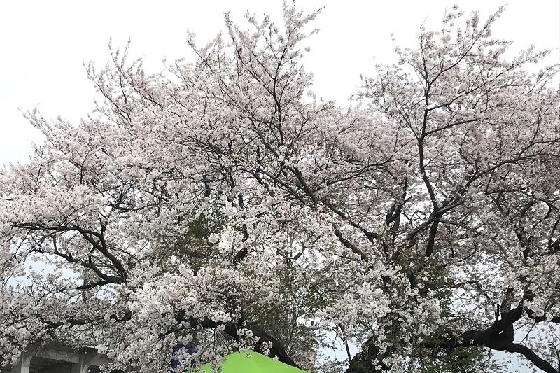 かすみがうらマラソン会場の桜