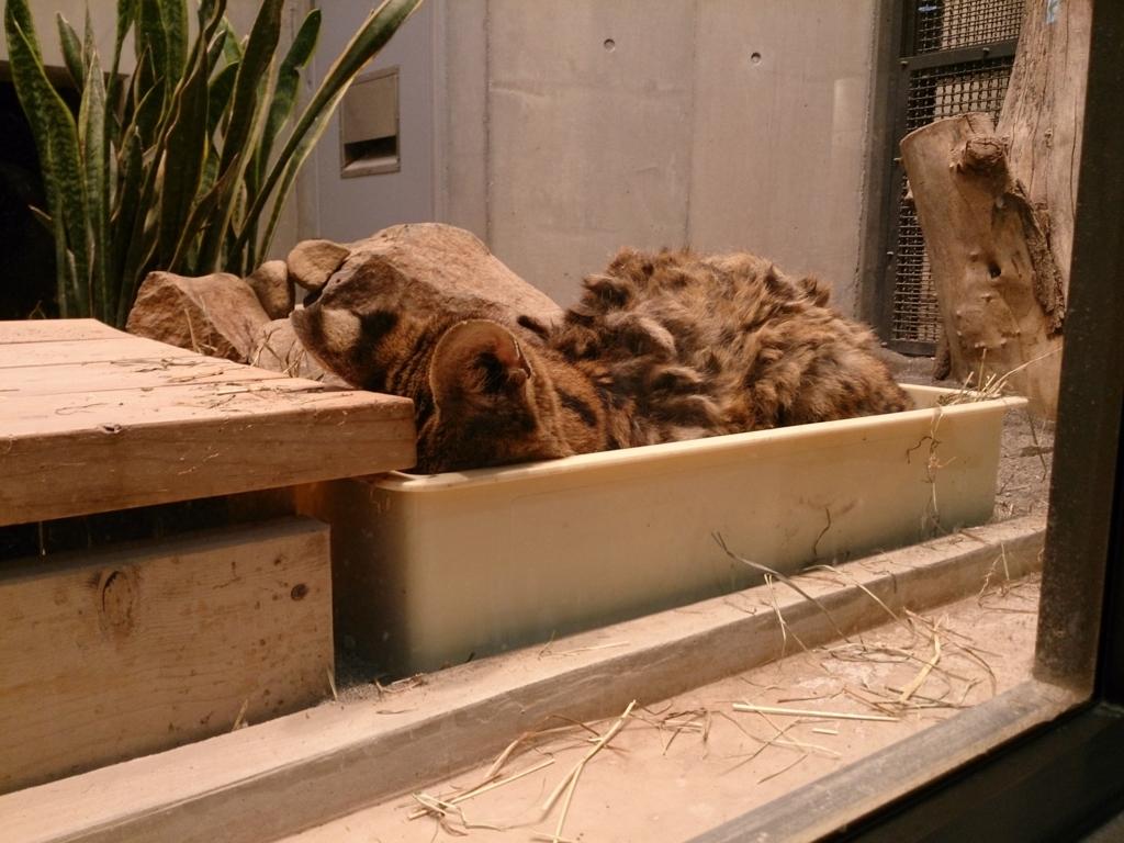 円山動物園のサーバルキャット2