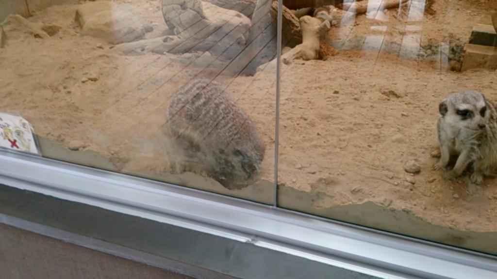円山動物園のミーアキャット