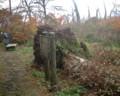 ブナ倒木の根