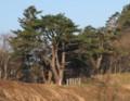 世代墓と松の木