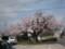 大山口駅前桜満開
