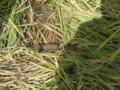 イノシシの糞2
