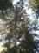 阿弥陀堂のスギの大木