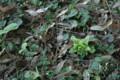 [春]フキノトウ