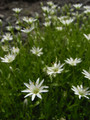 [花]エゾイワツメクサ 北海平にて