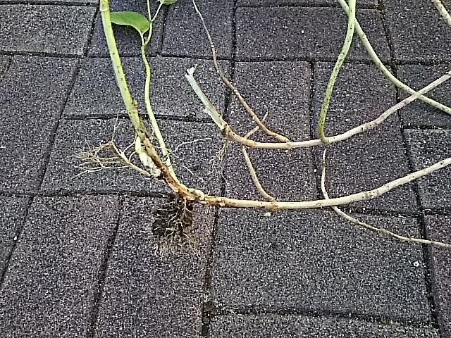茎の途中で根が生えている