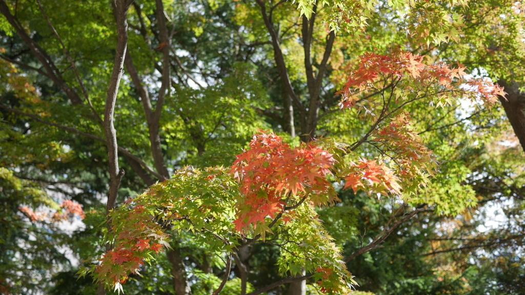 晴れた日のモミジの枝