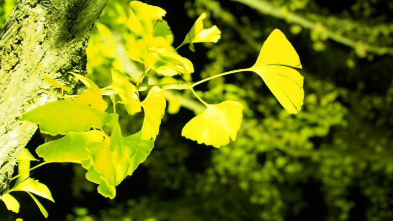 夜の銀杏の葉