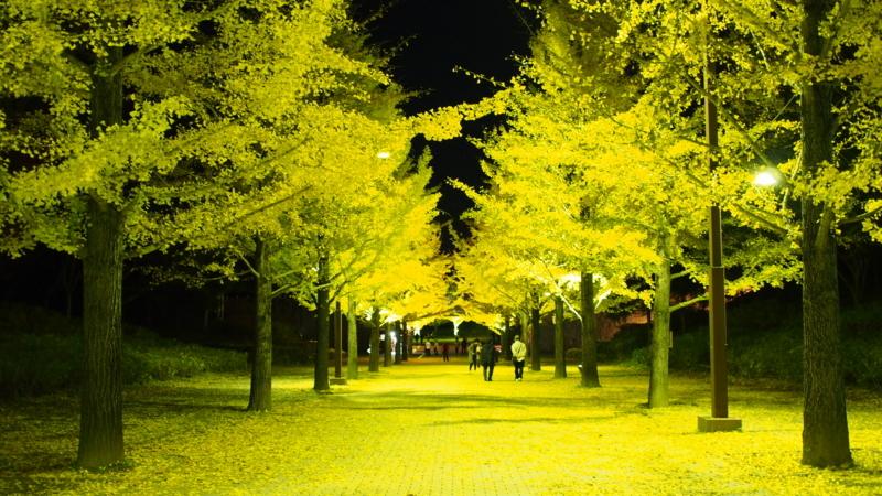 黄色に輝くイチョウの木