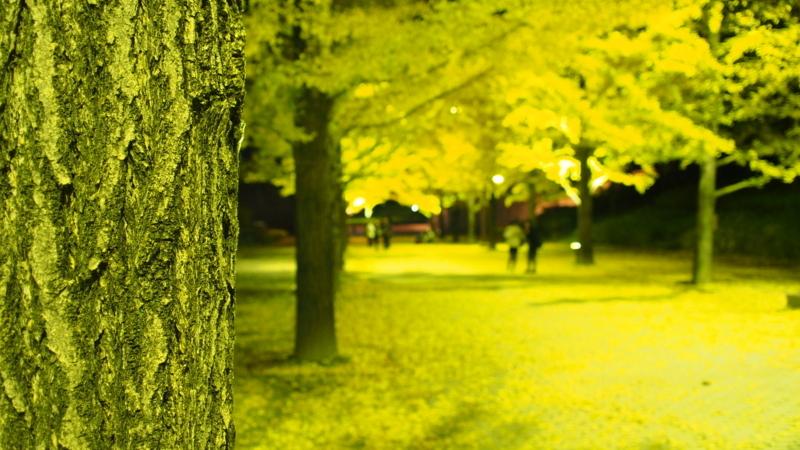 銀杏の樹皮