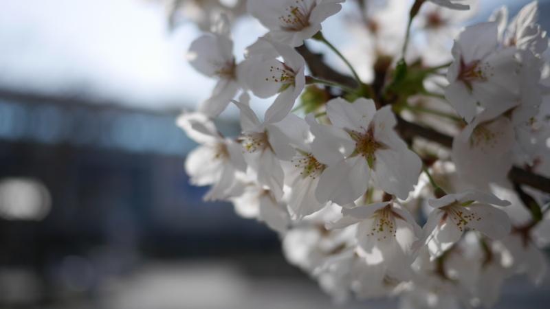 郡山駅西口駅ビルをバックに桜の写真