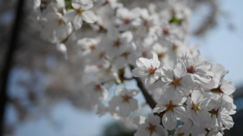 朝日を浴びる桜の花