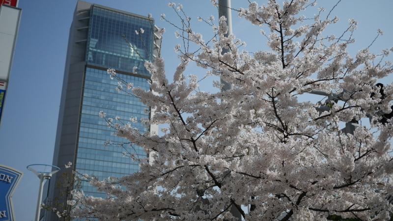 それほど樹齢が経っていない桜