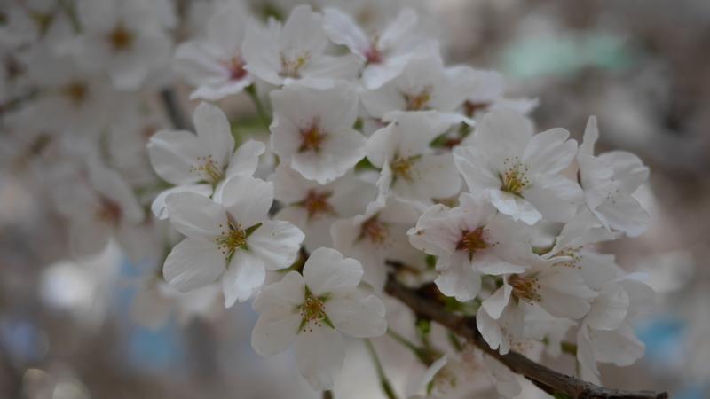 街中に咲く淡い色の桜