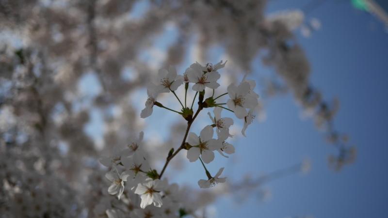 澄み切った青空のもとに咲く桜