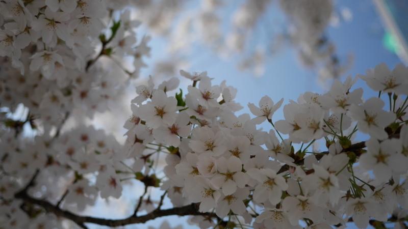 人が行きかう中に咲く誇る桜