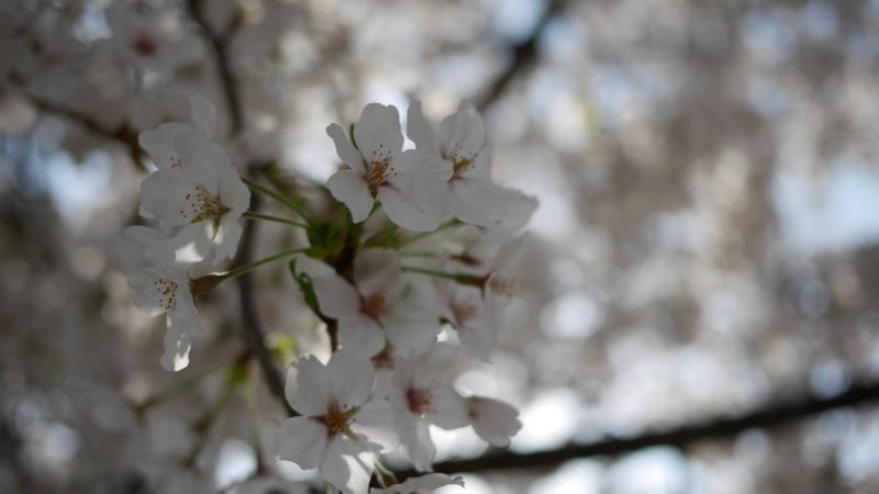 人が行きかう歩道で満開になる桜