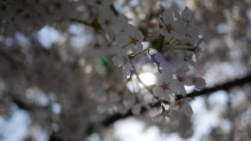 桜の花の隙間から漏れる陽の光
