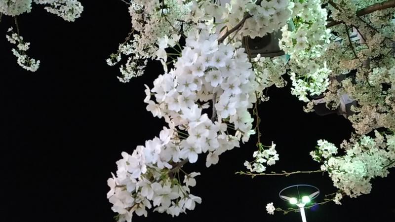 夜の街に照らされる満開の桜