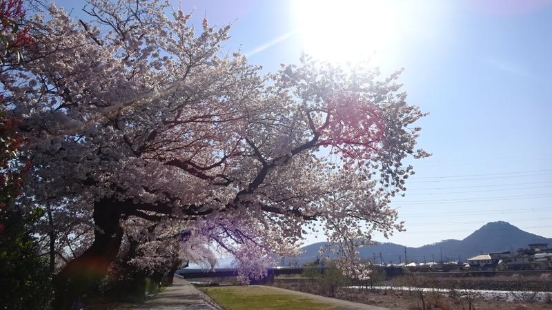 大きな桜の木へ差し込む朝日