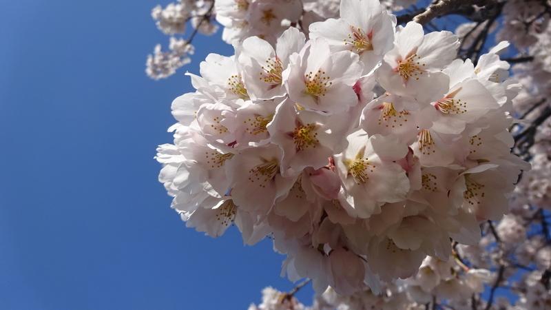 枝先を覆う桜の花