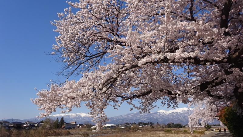 山を背景にした桜の木