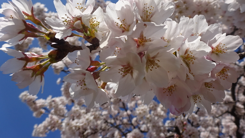 真下から綺麗に撮れた桜