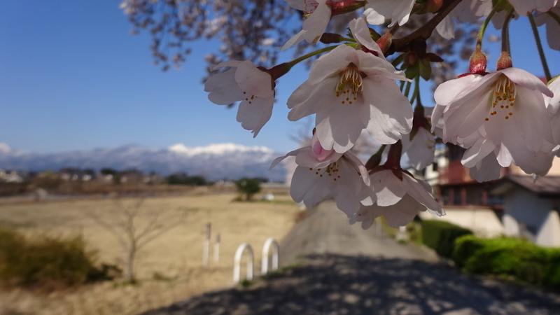 雪が残る山と桜の花