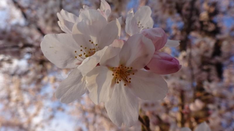 薄い夕焼けに染まる桜
