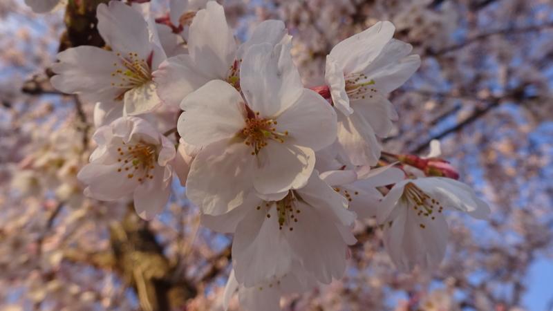 夕日を帯びた桜