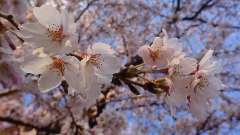 夕方に撮った桜