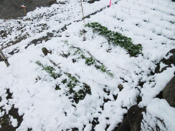 今日の畑仕事(1月20日)
