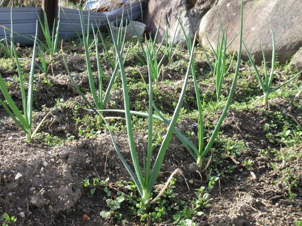 タマネギの成長(3~4月進捗)