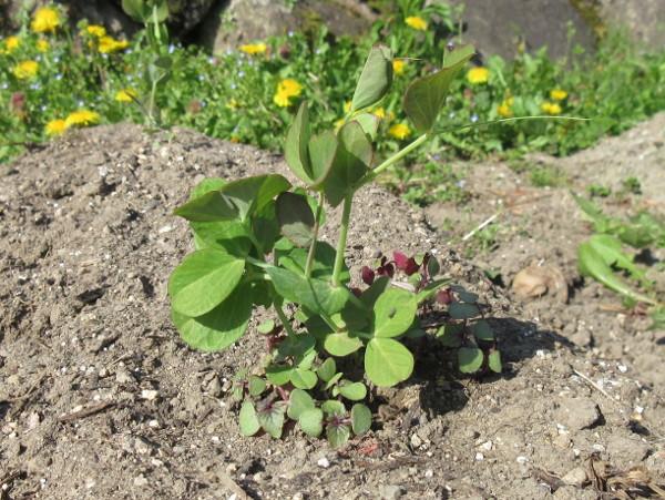 畑に移植しました(豆とほうれん草)
