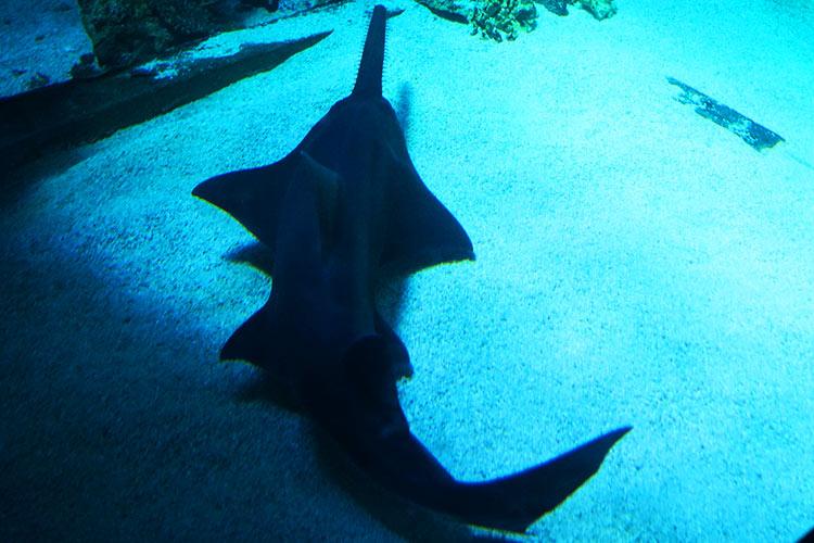のこぎりサメ