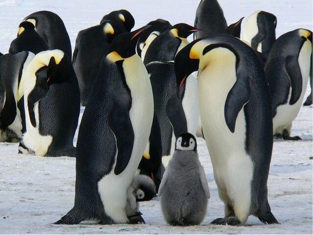 ペンギンの子育て風景