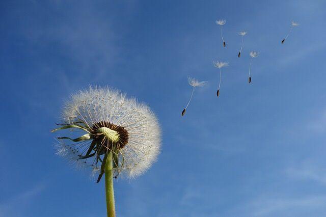 たんぽぽの綿毛が風に乗って飛んでいく様