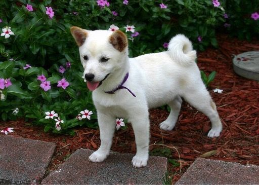 白い柴犬ちゃん