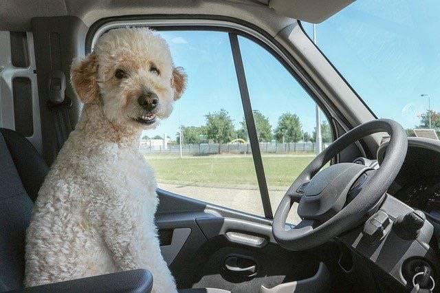 わんちゃんがトラックの運転席に座っている写真